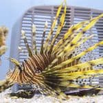 pterois volitans fish only aquarium