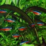 cardinal tetra planted aquarium