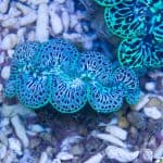 reef clam tridacna maxima blue